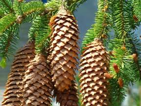 pine cones prints conifer pine tree landscape baslee troutman by baslee troutman