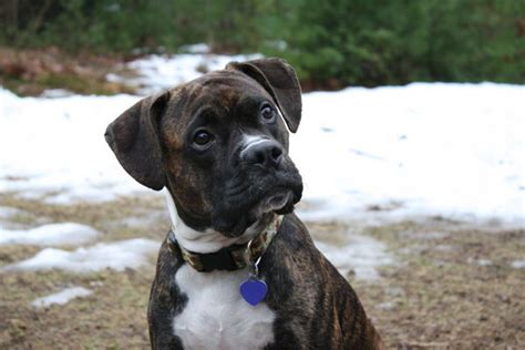 Pit Bull Boxer Mix Puppies Pictures To Pin On Pinterest