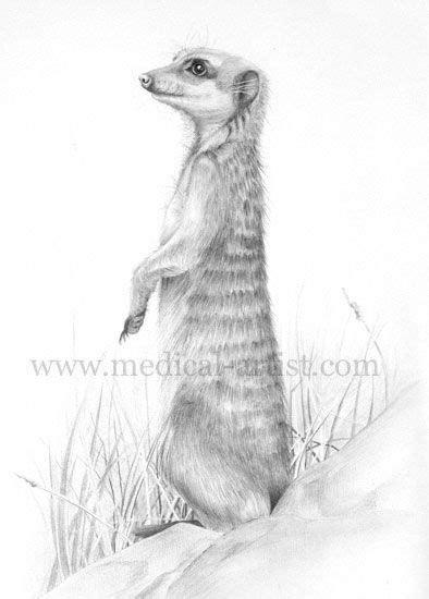 meerkat drawings google search drawings pinterest