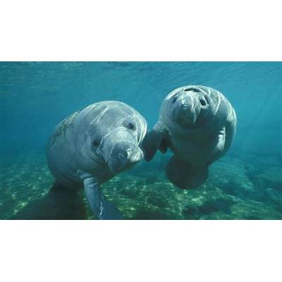A Magical Manatee Encounter in Everglades National Park