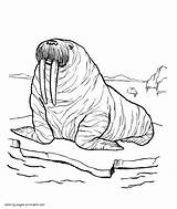Pages Sea Animals Coloring Walrus Printable Colouring Ocean Crab sketch template