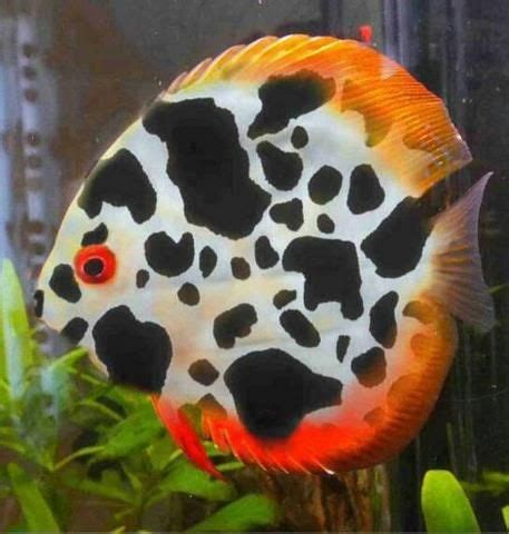 Dalmation Fish Discus