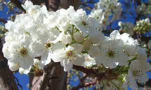 what trees white blossoms mlewallpapers com white blossoms ii