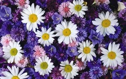 Wallpapers Daisy Flowers Baltana Down