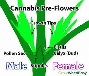 How To Tell Sex Of Cannabis Plants  With Pictures