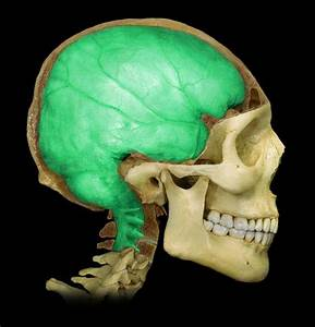Which Of The Cranial Meninges Consists Of Dense