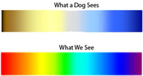 are coyotes color blind can dogs see color myenglishteacher eu forum