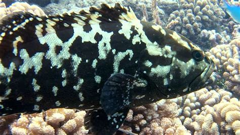 grouper fish seas britannica groupers fishes across warm giant learn