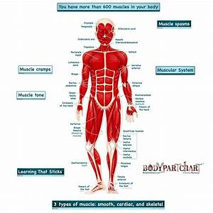 Simplified Muscular System Labeled Decal