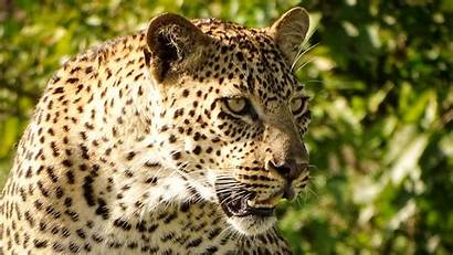 Animal Leopard Angry Face Wallpapers Animals Walls