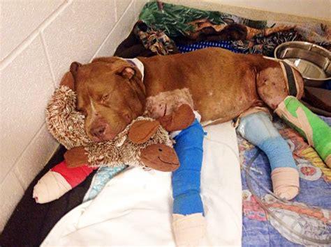 injured pup saved  fighting ring    warm