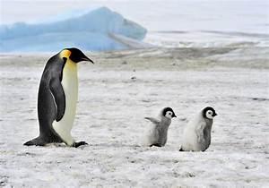Emperor penguin—How do baby penguins survive? | ZALA HUB ...