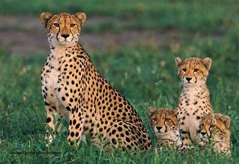 Ausmalbild Laufender Gepard Ausmalbilder Kostenlos Zum
