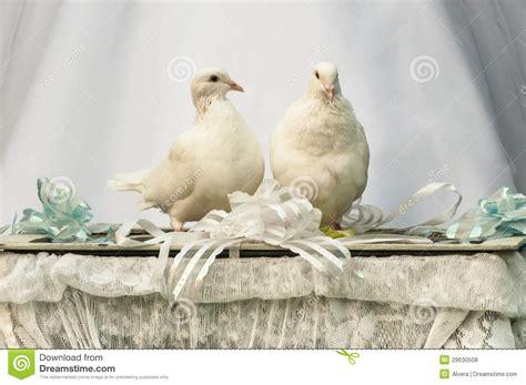royalty  stock  white doves wedding bird image
