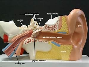 anatomical brain stem labeled lab model - Google Search ...