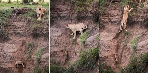 wildlife photographer captures lion rescuing helpless cub