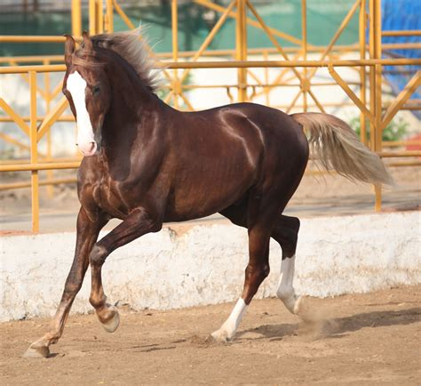marwari horse stallion horses mare samant breed thoroughbred indian history race horsebreedspictures