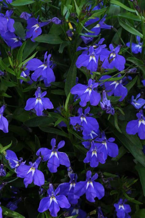 lobelia erinus magadi blue lucas greenhouses