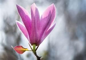 Magnolien Vermehren Durch Stecklinge : magnolie per ableger vermehren so geht 39 s ~ Lizthompson.info Haus und Dekorationen