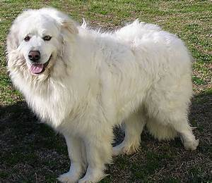 Big White Fluffy Dog Search Results Update And Information ...