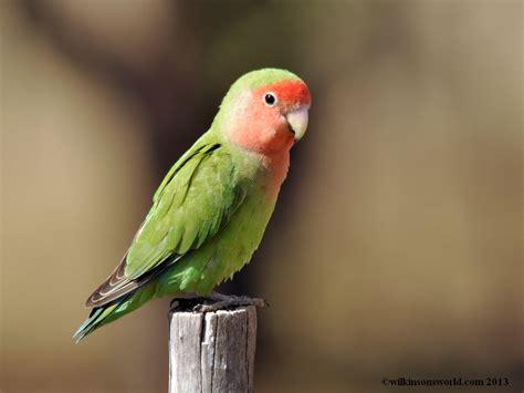 rosy faced lovebird wilkinson s world