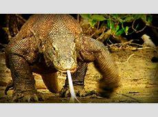 Komodo Tierra de Dragones documental completo YouTube