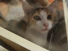 petsmart cats for adoption calico kitten at petsmart waiting for adoption by