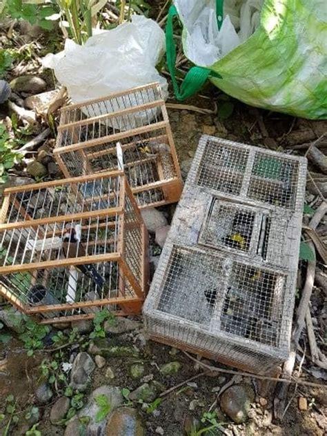 gabbia cardellino cardellini in gabbia e trappole per catturarli una denuncia