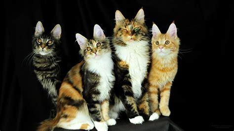 pictures lolcat funny cat desktop wallpaper picture