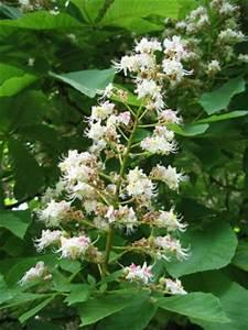 Marronnier blanc fleur de bach ouistitipop for Tapis chambre bébé avec fleur de bach stress angoisse