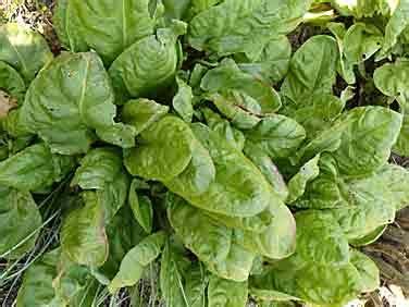 cuisiner l oseille l oseille un légumes de saison le potager coudert