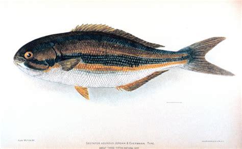 chub sea kosher bermuda opaleye azureus fish wikipedia wikimedia commons halfmoon rudderfish names kyphosus answer