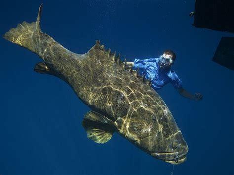 grouper goliath pounds monsterfish grow feet