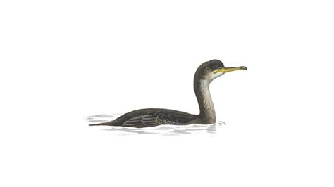 Shag Bird Facts  Phalacrocorax Aristotelis  The Rspb