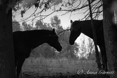 goats companions horses villa solis fainting occasus horse eyes