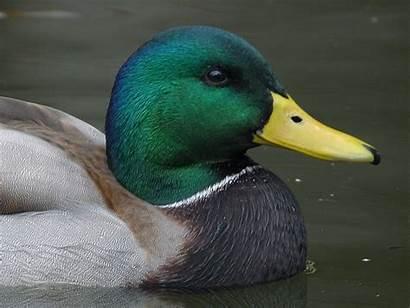 Duck Animals Stitch Cross Patterns Ducks Pattern