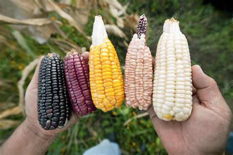 Native maize varieties - Stock Image - C008/1384 - Science ...