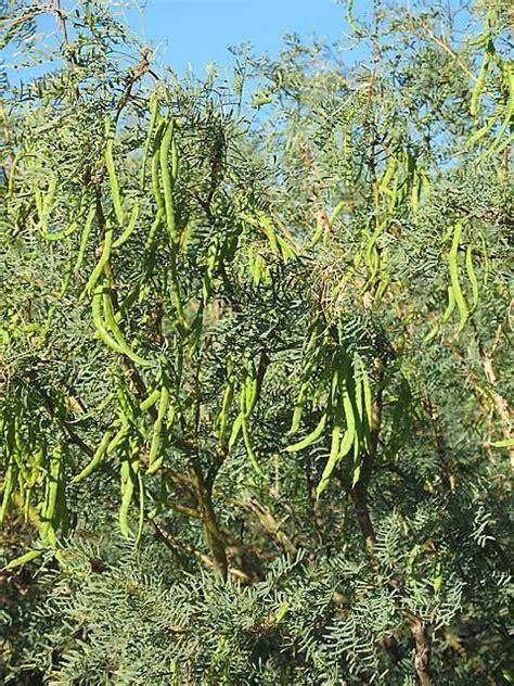 mesquite tree  mesquite tree  pods foraging