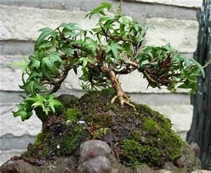 Bonsai Stecklinge Machen : abana natureart bonsai mames in der entwicklung ~ Indierocktalk.com Haus und Dekorationen