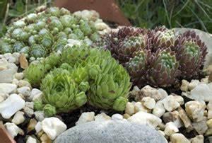 Steinbeet Pflanzen Winterhart : steingarten anlegen gestaltung und bepflanzung ~ Watch28wear.com Haus und Dekorationen
