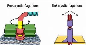 File Difference Between Prokaryote And Eukaryote Flagella