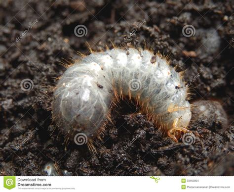 white grub in soil chafer larva phyllophaga stock images image 33462804