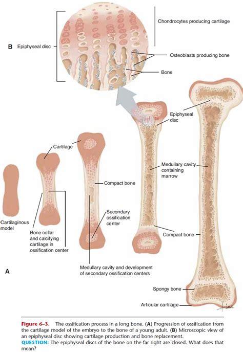 The thigh bone (femur) is a long bone. Embryonic Growth of Bone