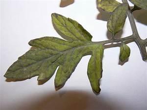 Feuille De Tomate : feuillage cern de noir feuilles de plus en plus sombres ~ Melissatoandfro.com Idées de Décoration