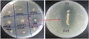 Photos Of Protease Producing Bacteria   Arthrobacter Sp