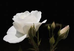 White Rose Black Background Photograph by Matthias Hauser