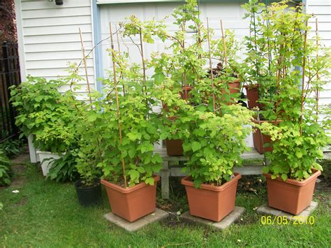 can raspberries be grown in containers container gardening cheryl s garden goodies