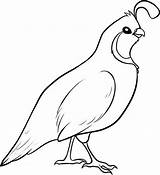 Quail Coloring Valley Clipart Drawing California Pages Bird Template Gambel Quails Colouring Line Drawings Sketch State Blank Birds Google Detailed sketch template