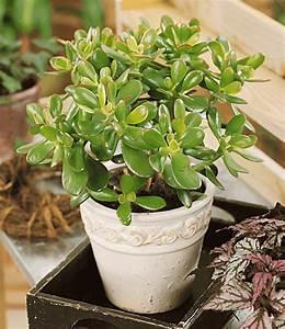 Chinesischer Geldbaum Kaufen : geldbaum 1a zimmerpflanzen online kaufen baldur garten ~ Michelbontemps.com Haus und Dekorationen