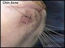 cat acne treatment feline acne acne vulgaris